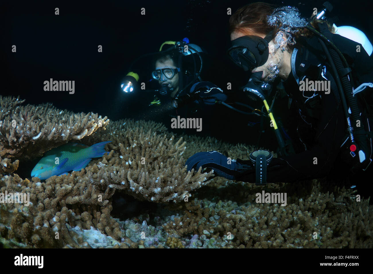 Young couple divers look at the sleeping bicolour parrotfish (Cetoscarus bicolor) night diving, Indian Ocean, Maldives Stock Photo