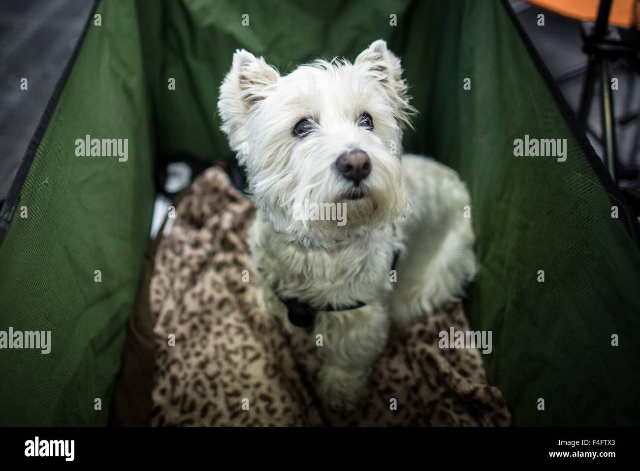 Dortmund Germany 16th Oct 2015 A Sealyham Terrier Sits In Basket