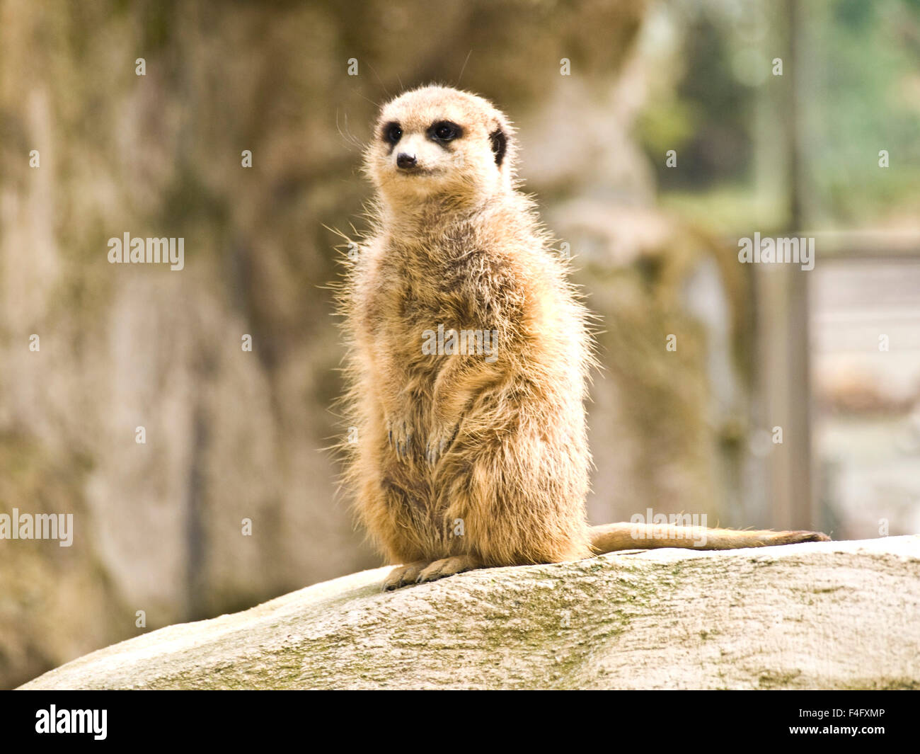 A very interested meerkat - Stock Image