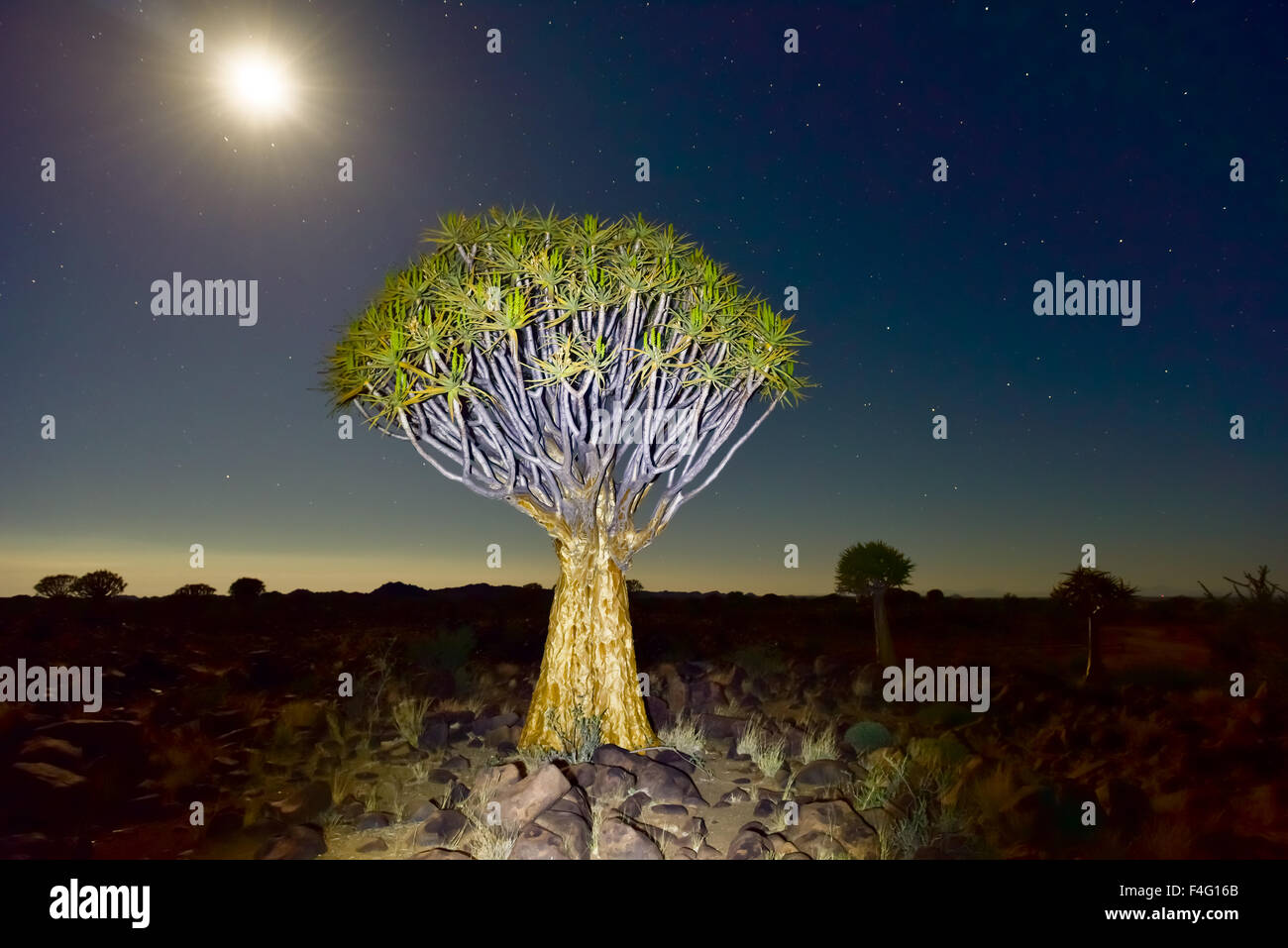Quiver Tree Forest outside of Keetmanshoop, Namibia at night on a full moon with stars in the sky. Stock Photo