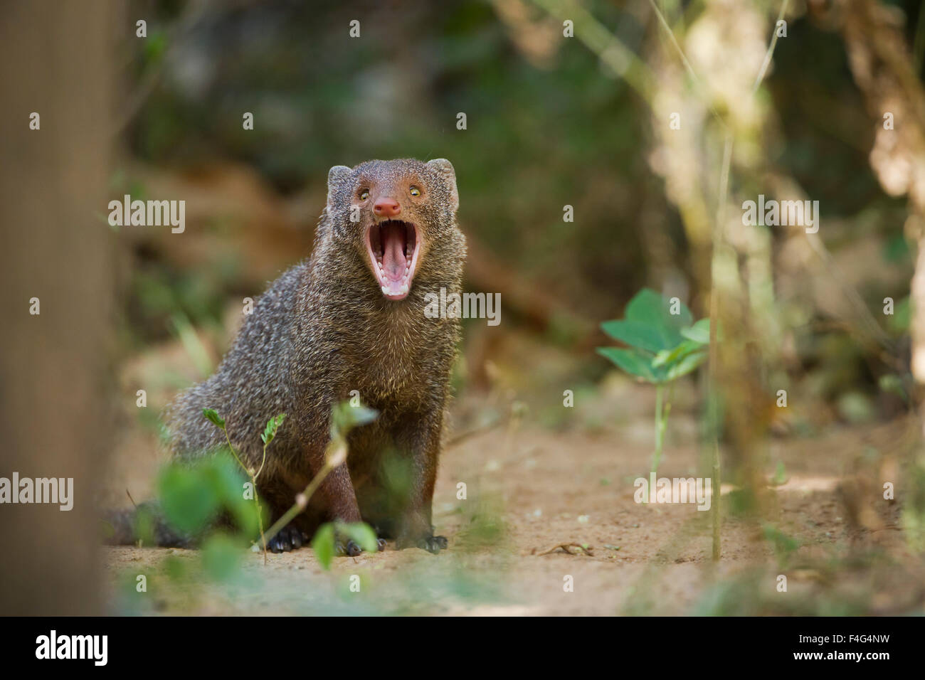 India gray mongoose specie Herpestes edwardsii - Stock Image