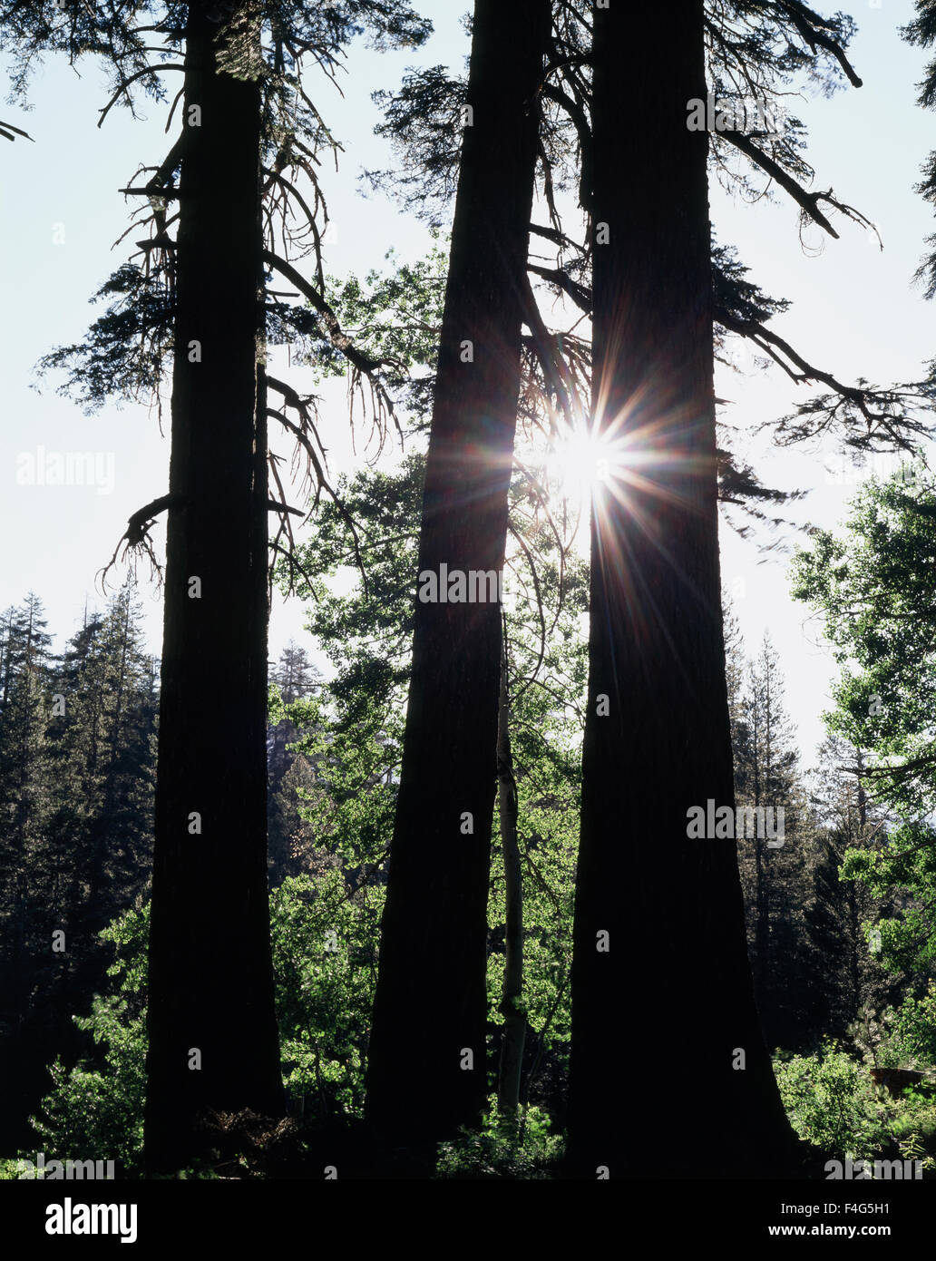 California, Sierra Nevada Mountains, Inyo National Forest, The sun's rays through a forest of Red Fir Trees - Stock Image