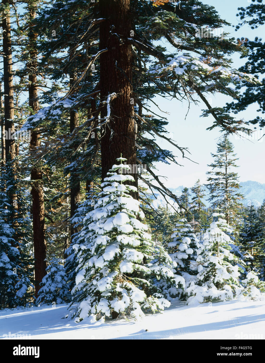 California, Sierra Nevada Mountains, Inyo National Forest, snow-covered Red Fir Trees (Abies magnifica) trees in - Stock Image
