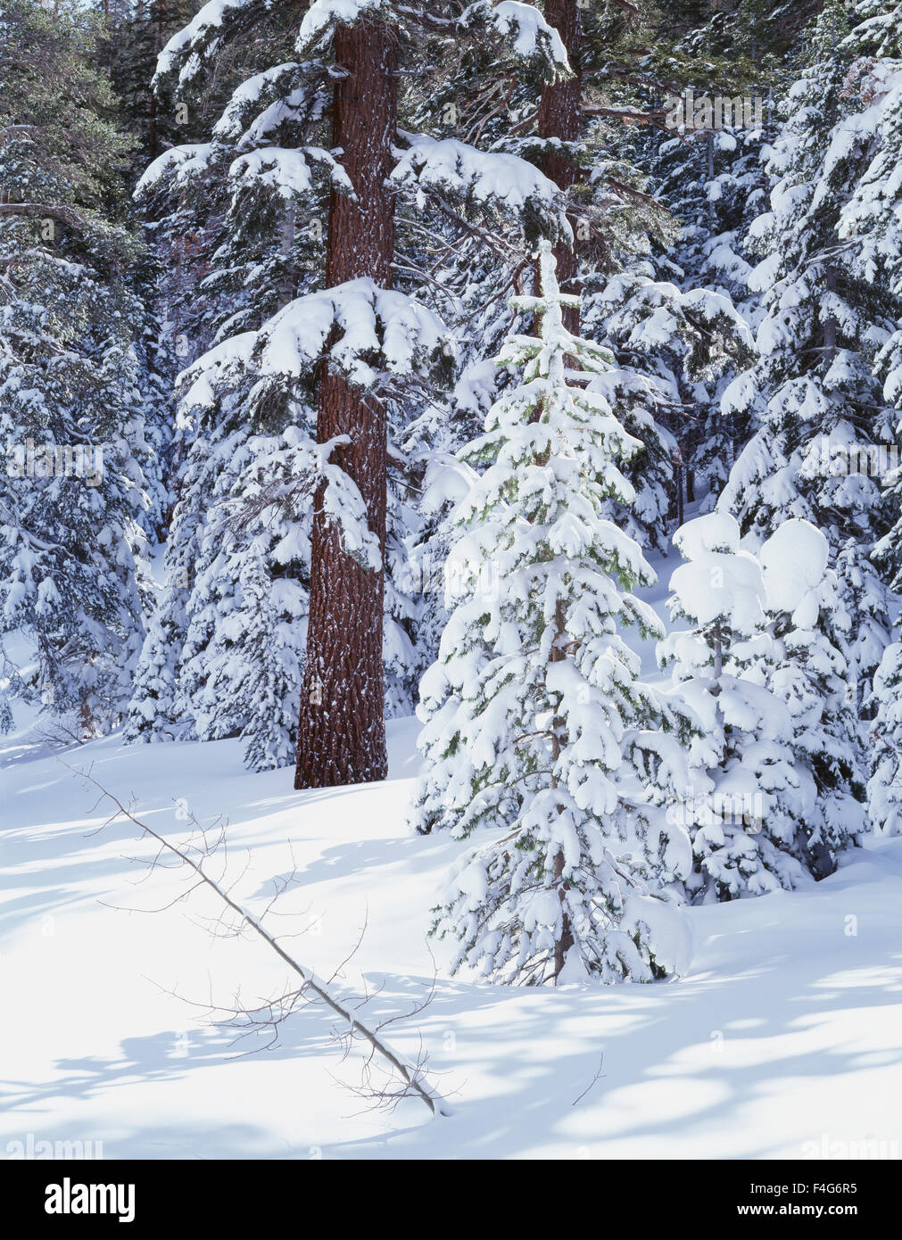 California, Sierra Nevada Mountains, Inyo National Forest, snow-covered Red Fir Trees (Abies magnifica). (Large - Stock Image