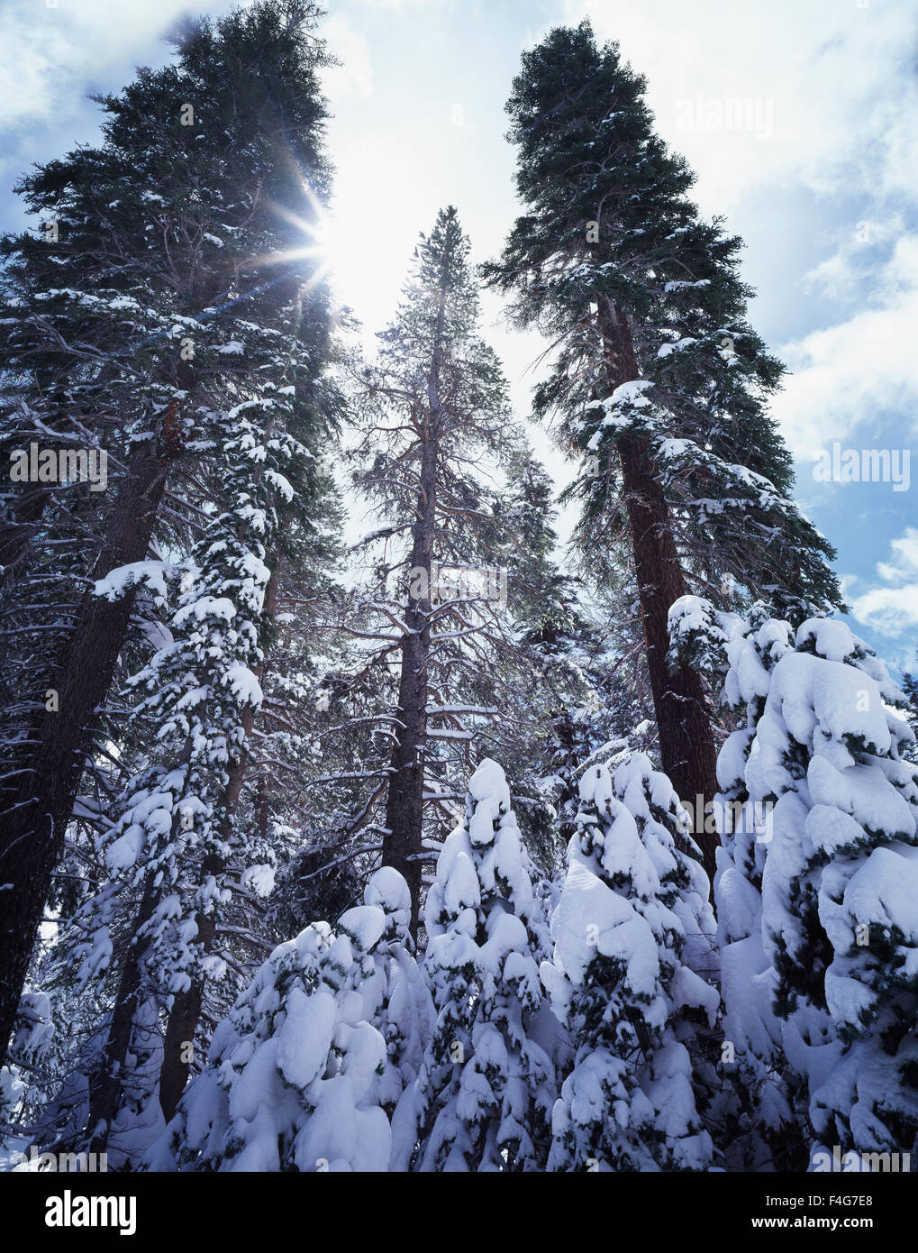 California, Sierra Nevada Mountains, Inyo National Forest, snow-covered old growth Red Fir Trees (Abies magnifica). - Stock Image