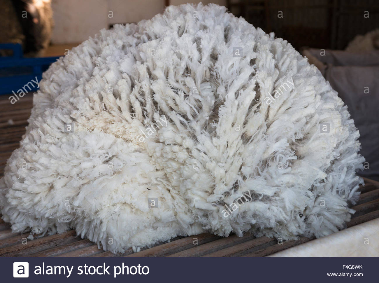 Pile of unprocessed sheep fleece on sorting table - Stock Image