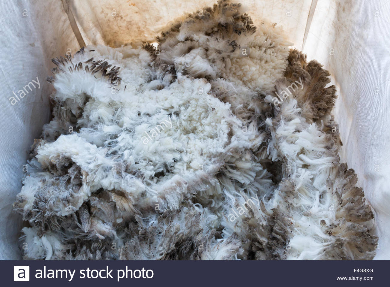 Pile of unprocessed sheep fleece in a collecting bag - Stock Image