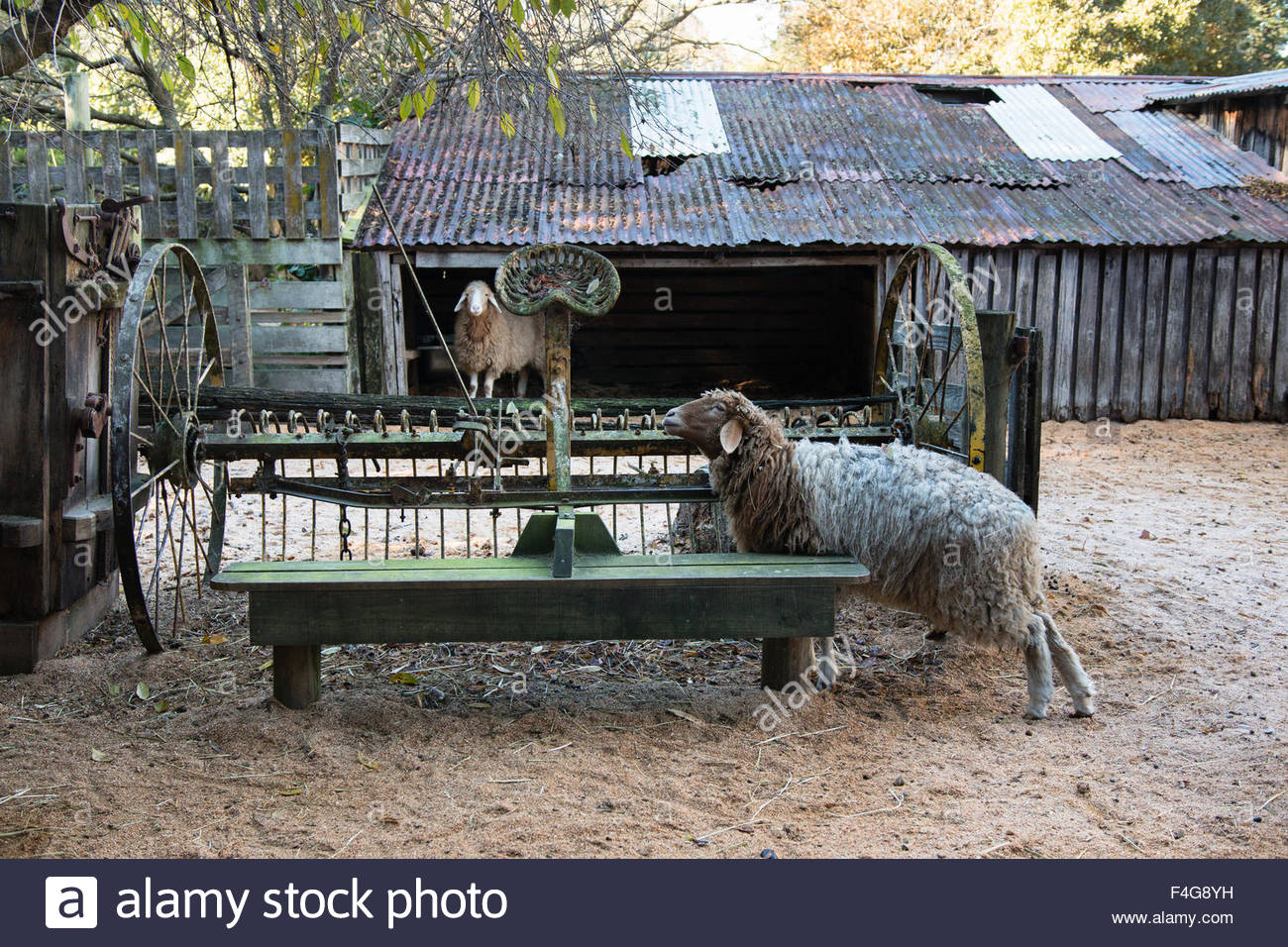 Two sheep and old harrow on country yard, Canterbury, New Zealand - Stock Image