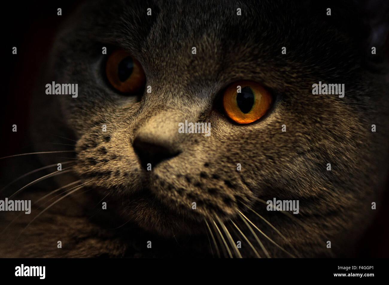 Cat breed British Shorthair Blue - Stock Image