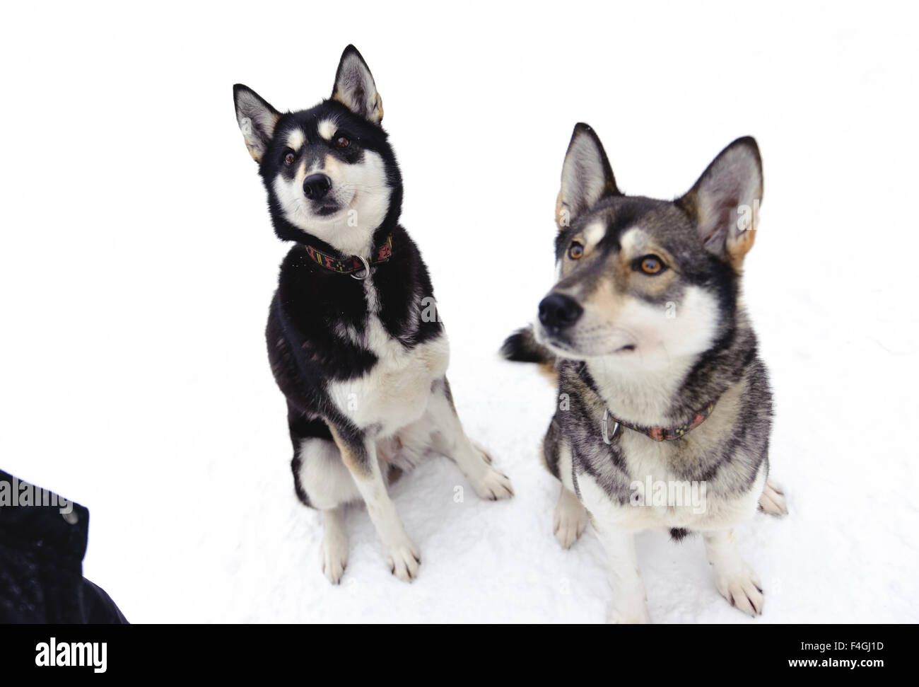 Husky sitting on snow in winter - Stock Image
