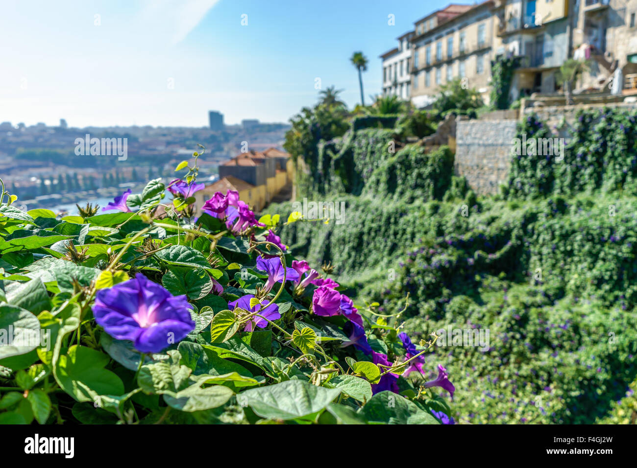 Purple morning glory flowers hang and cover Porto buildings. October, 2015. Porto, Portugal. - Stock Image