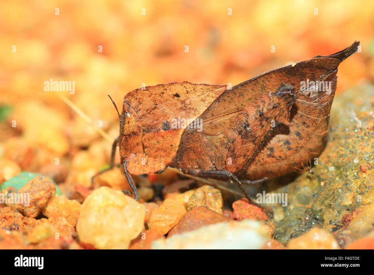 Dead Leaf mimicry Grasshopper (Chorotypus sp) in Sinharaja Forest Reserve, Sri lanka - Stock Image