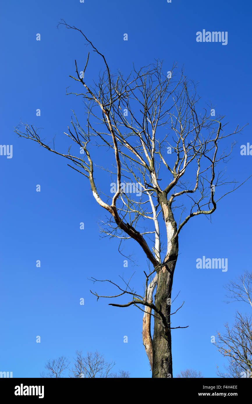 Withered tree closeup against the blue sky Stock Photo ...