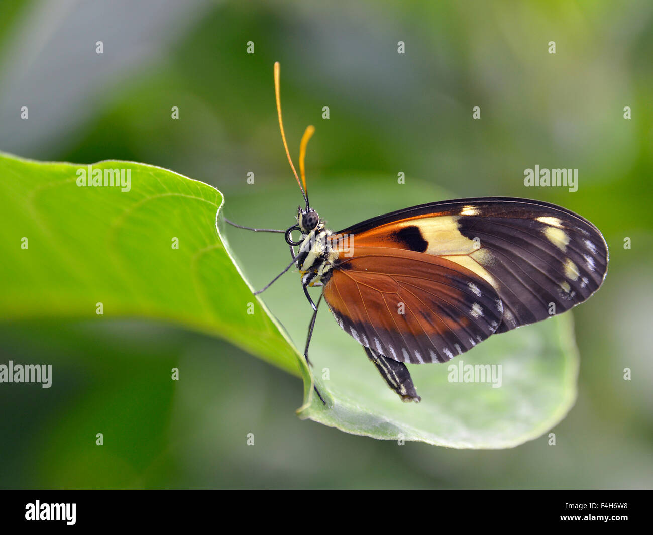 Nymphalidae butterfly on leaf - Stock Image