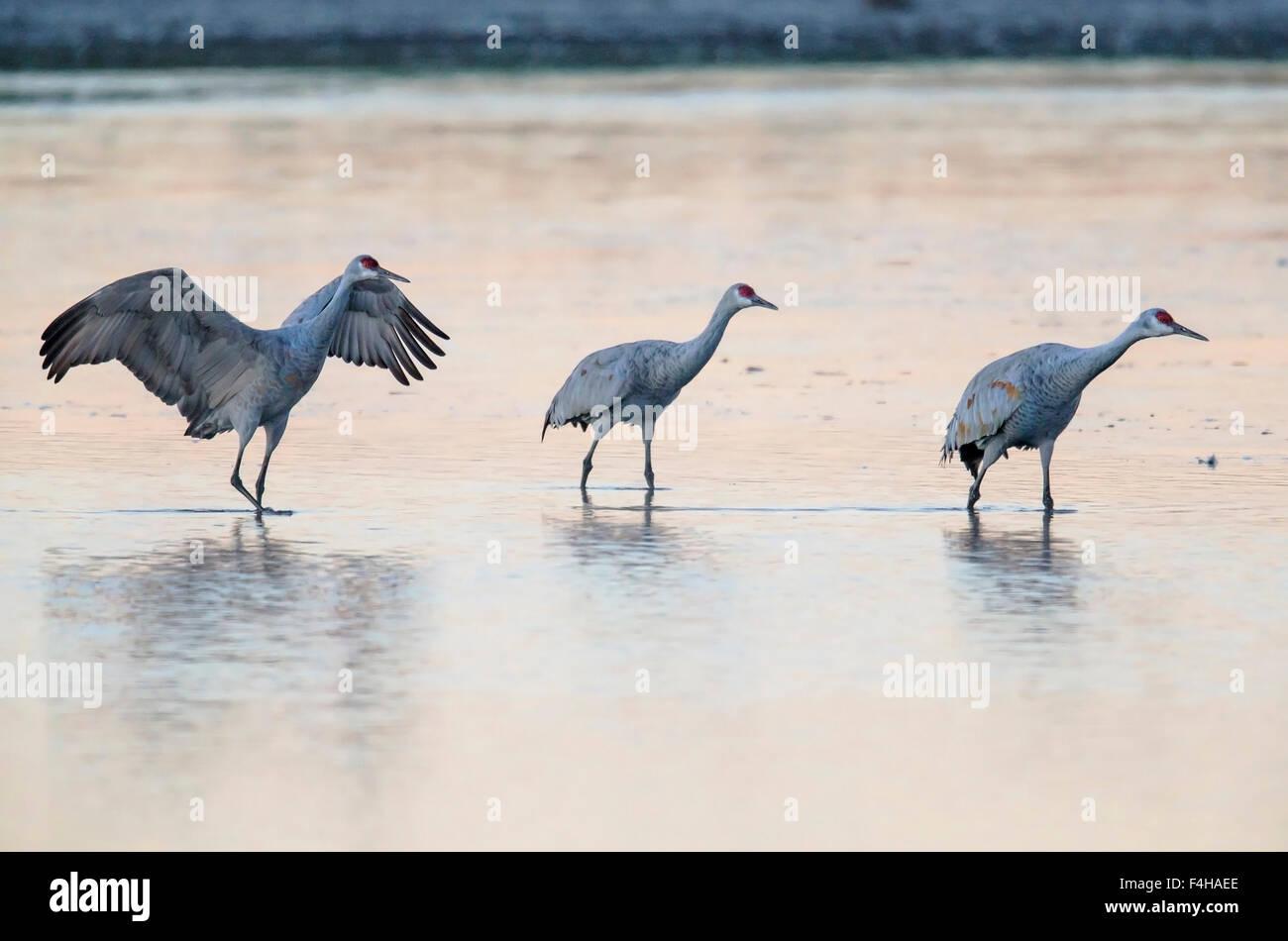 Sandhill Cranes in pond at sunrise, Monte Vista National Wildlife Refuge, Colorado, USA - Stock Image