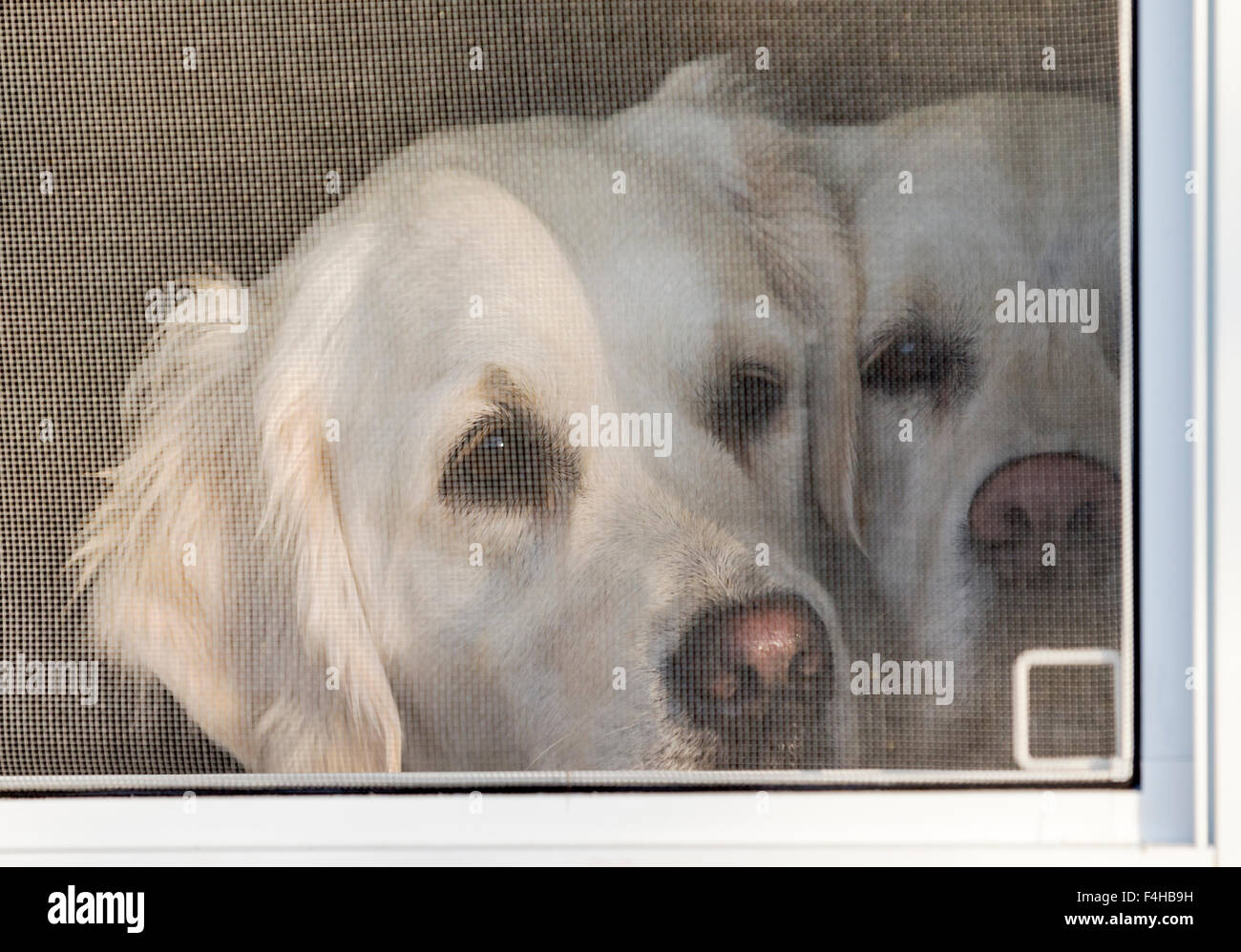 Two Platinum colored Golden Retriever dogs looking out a window. - Stock Image