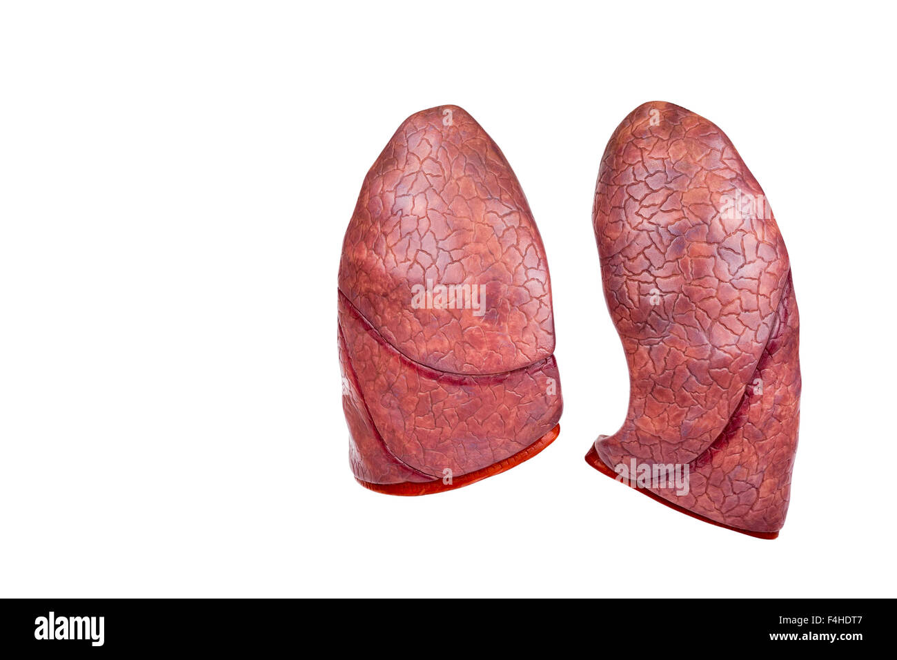 Two human model lungs isolated on white background - Stock Image