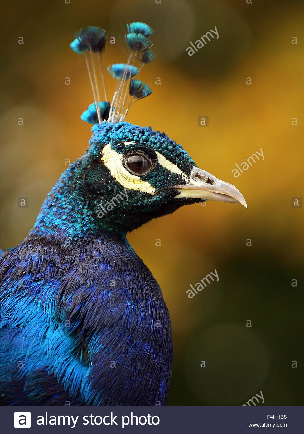 A close-up shot of a colourful male Peafowl. - Stock Image