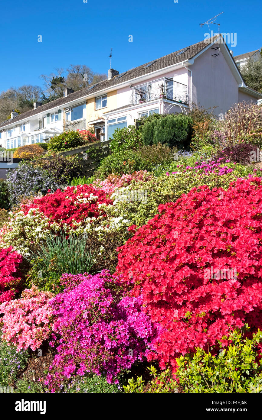 Azaleas and other summer border plants in a cornish garden - Stock Image
