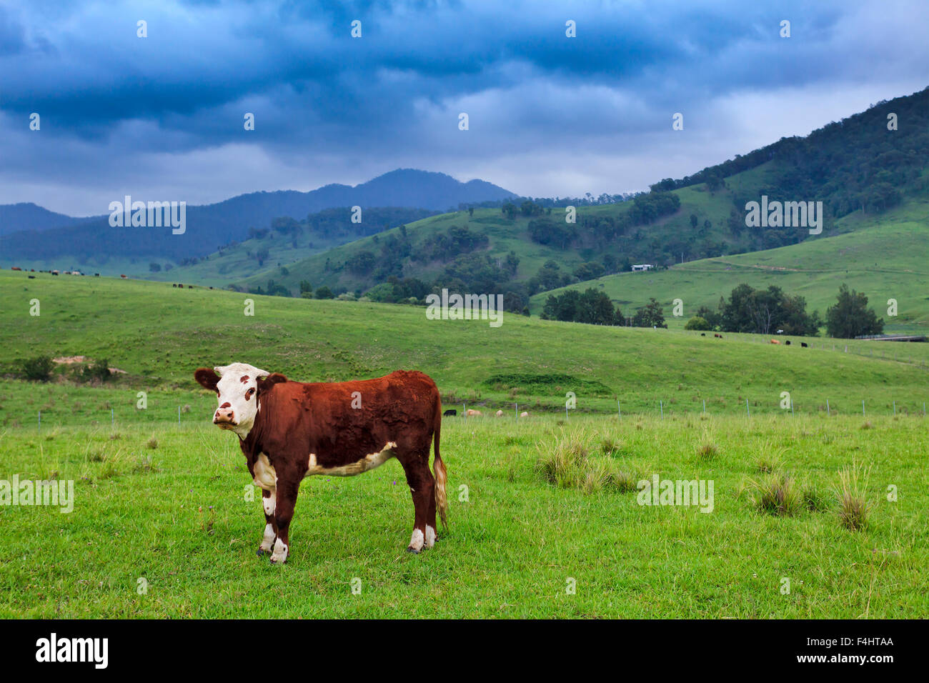 single brown angus steer bull on a green grazing pasture in rural reginal australian farm on a cloudy summer day - Stock Image