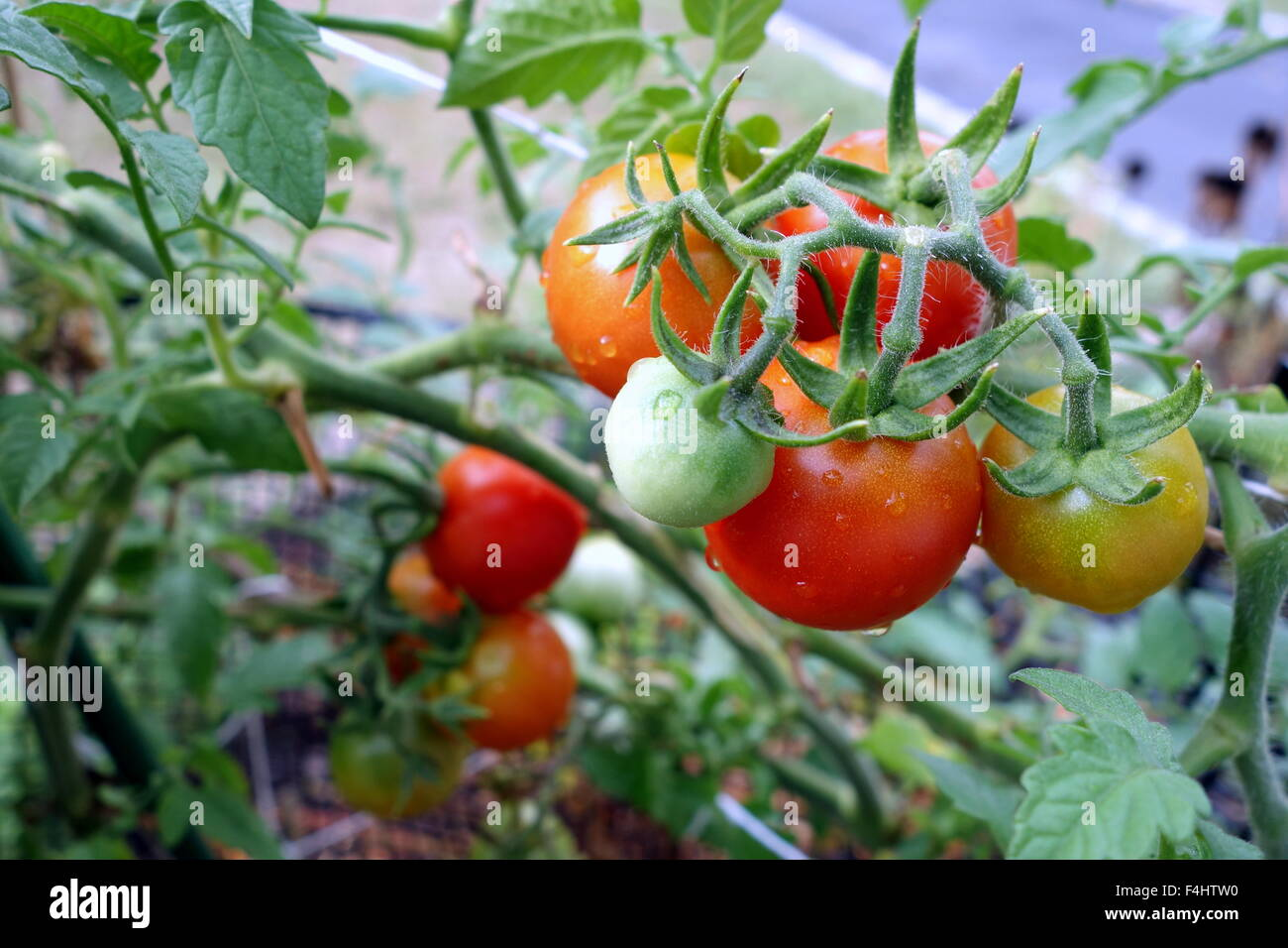 Growing Tomatoes In The Home Garden Stock Photo 88903164 Alamy