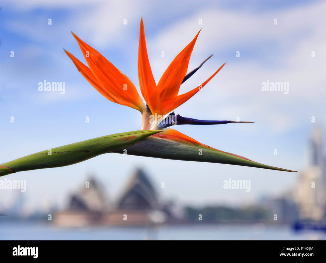bird of paradise bright orange flower head against blue sky in SYdney above defocussed opera house on a sunny spring - Stock Image