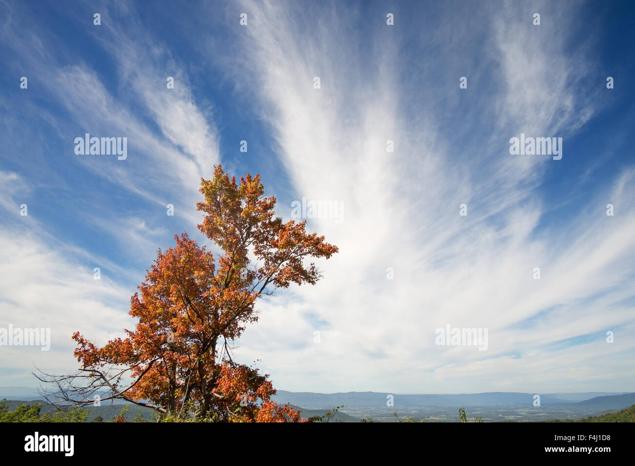 Tree with autumn foliage and blue sky with white clouds Skyline Drive, Shenandoah National Park, Virginia, USA - Stock Image