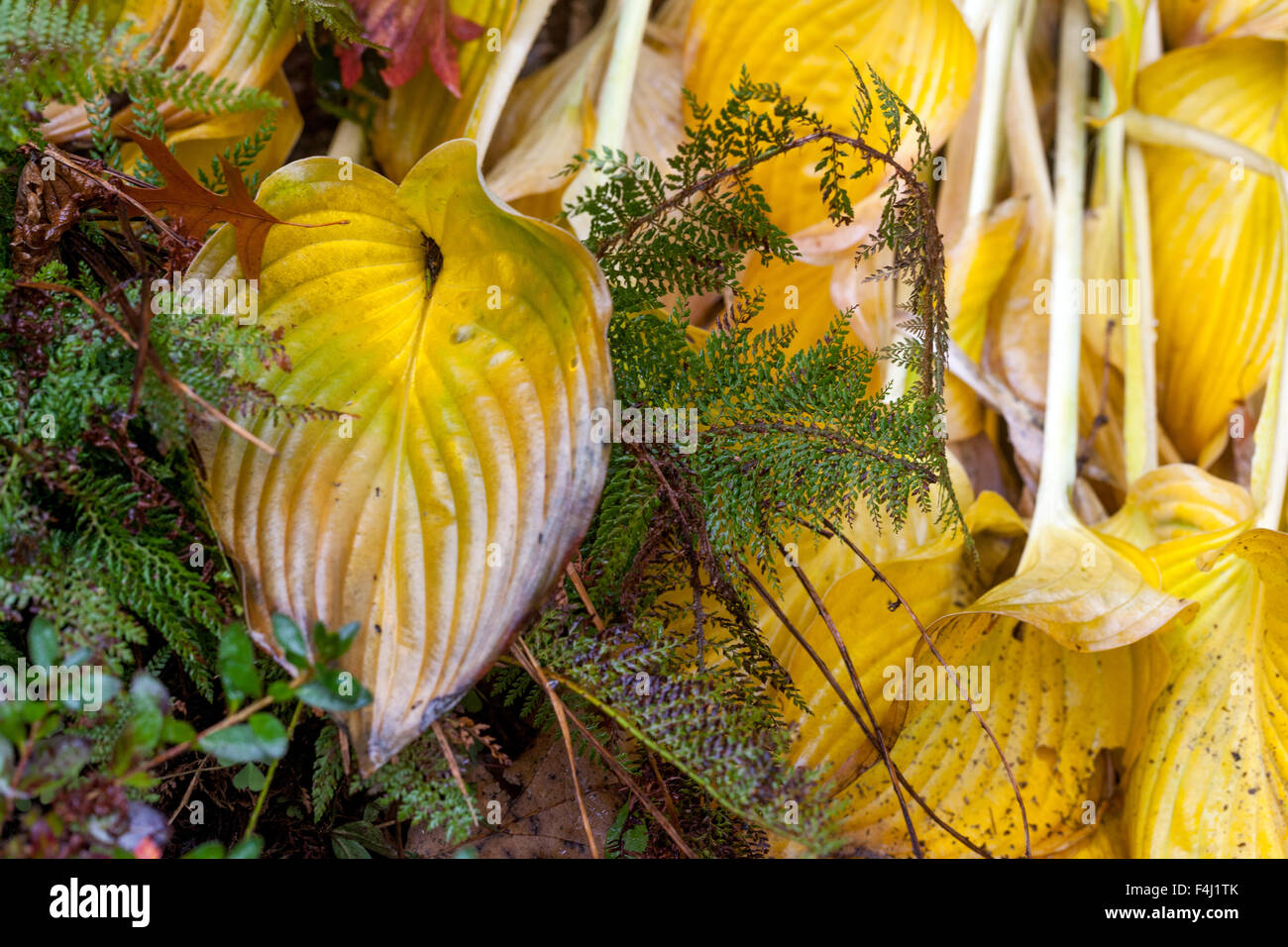 Hosta Yellow Leaves Stock Photos Hosta Yellow Leaves Stock Images