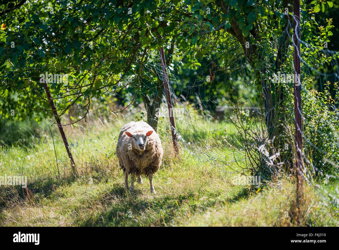 sheep on pasture, Czech republic - Stock Image