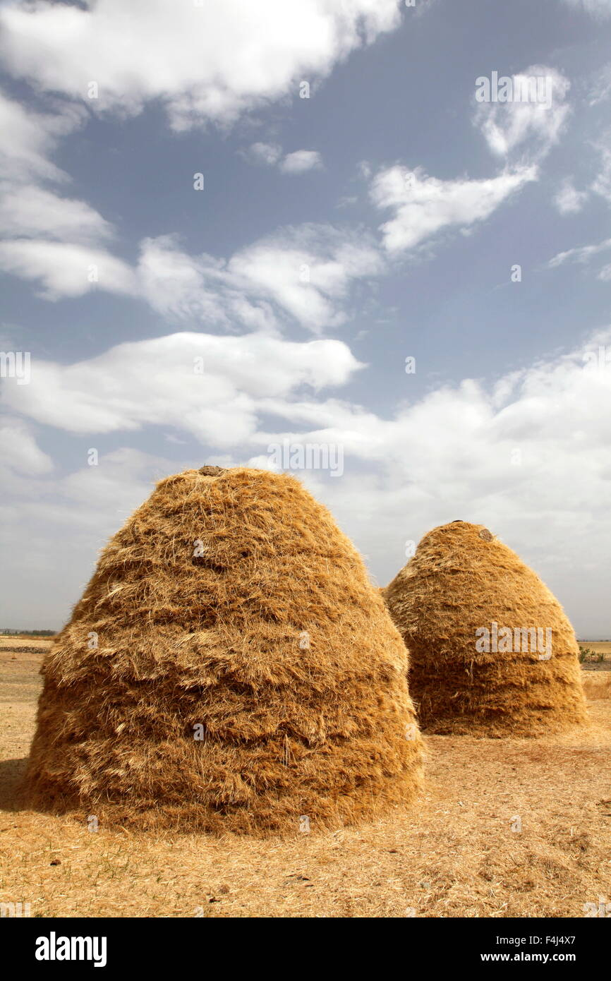 Mounds of teff grain dry in fields in Ethiopia, to make flour for injera, the national dish of the country, Ethiopia - Stock Image