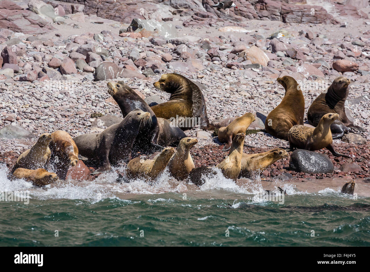 California sea lion (Zalophus californianus) herd stampeding to the sea at Isla San Esteban, Baja California, Mexico Stock Photo
