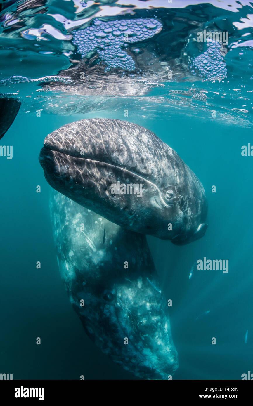 California gray whale (Eschrichtius robustus) mother and calf underwater in San Ignacio Lagoon, Baja California Stock Photo