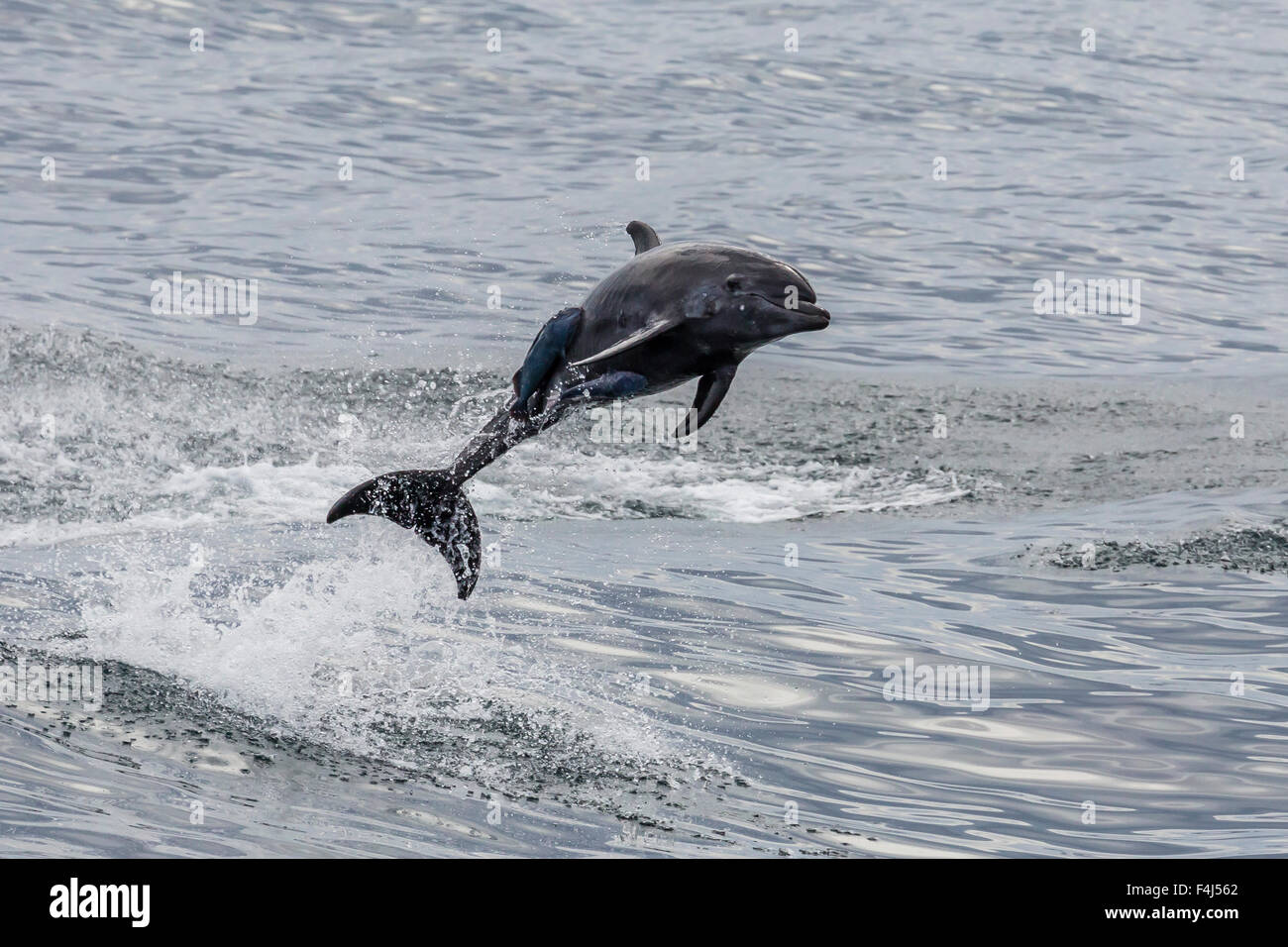 Adult bottlenose dolphin (Tursiops truncatus), leaping into the air near Santa Rosalia, Baja California Sur, Mexico - Stock Image