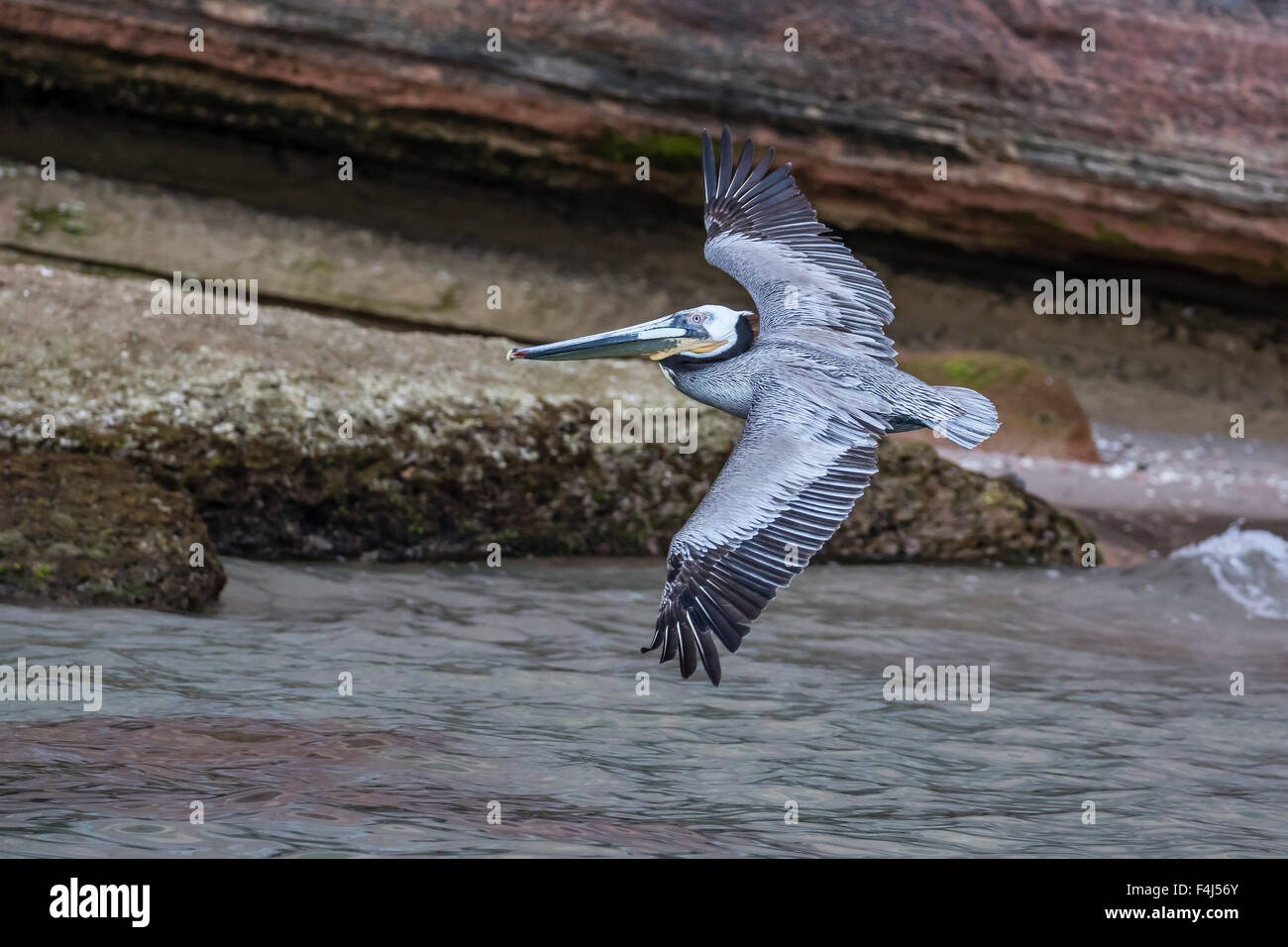 An adult brown pelican (Pelecanus occidentalis) in flight at Punta Colorado, Isla San Jose, Baja California Sur, Stock Photo