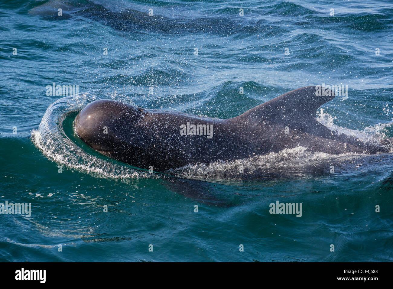 Short-finned pilot whale (Globicephala macrorhynchus) surfacing near Isla San Pedro Martir, Baja California, Mexico Stock Photo