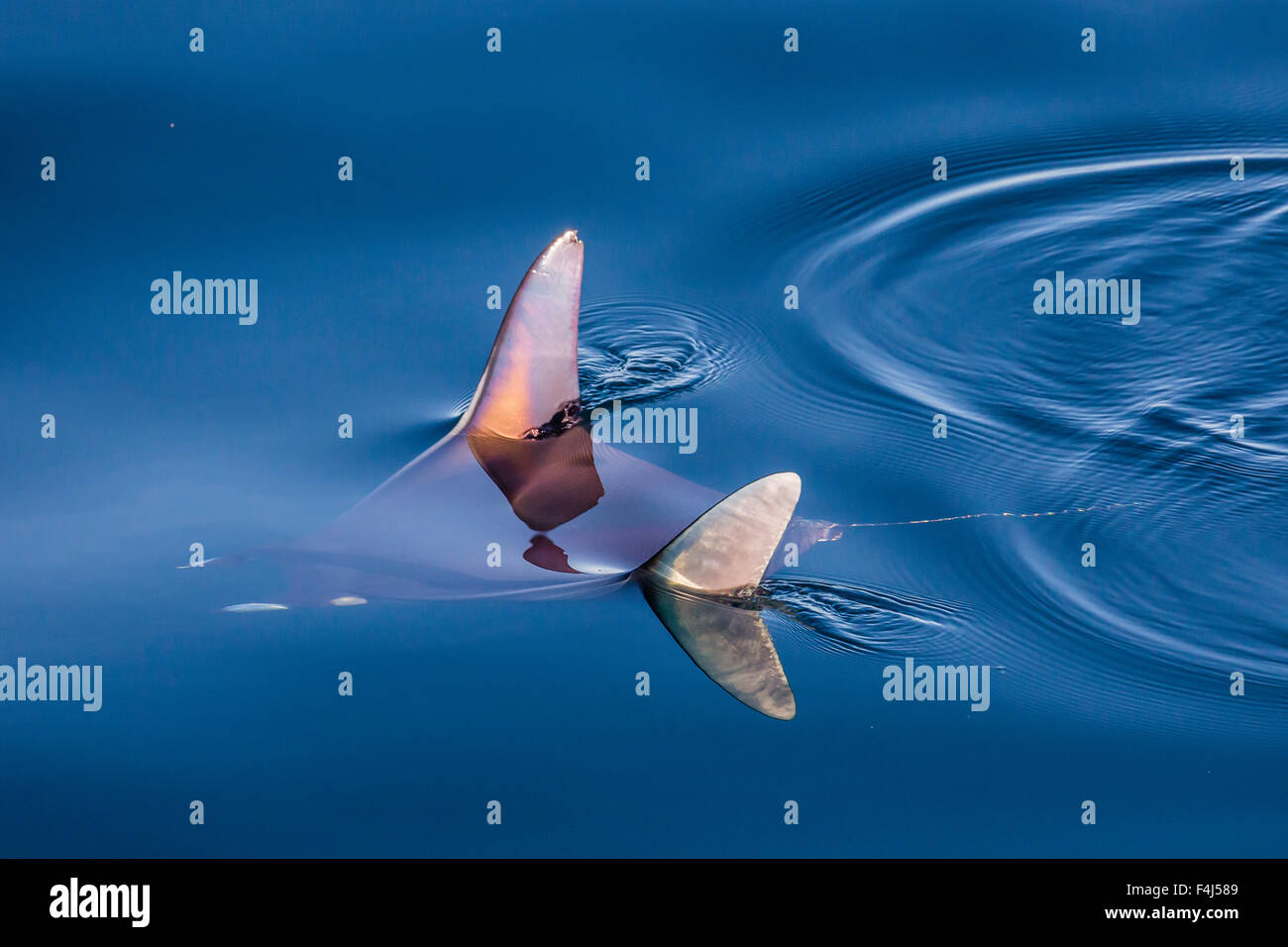 Mobula, Mobula spp, with wingtips above the surface near Isla Danzante, Baja California Sur, Mexico, North America - Stock Image