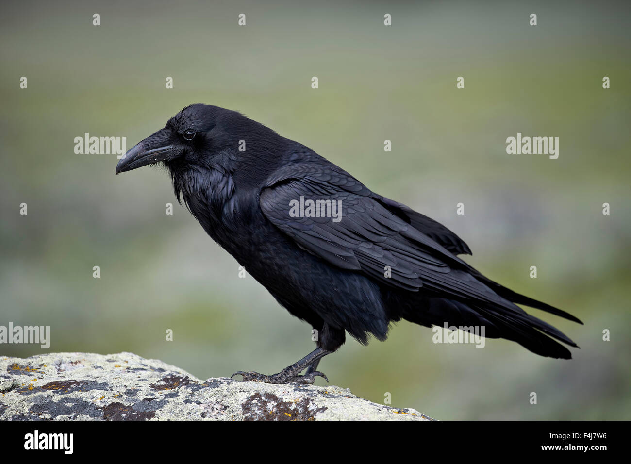 Common Raven Stock Photos & Common Raven Stock Images - Alamy on