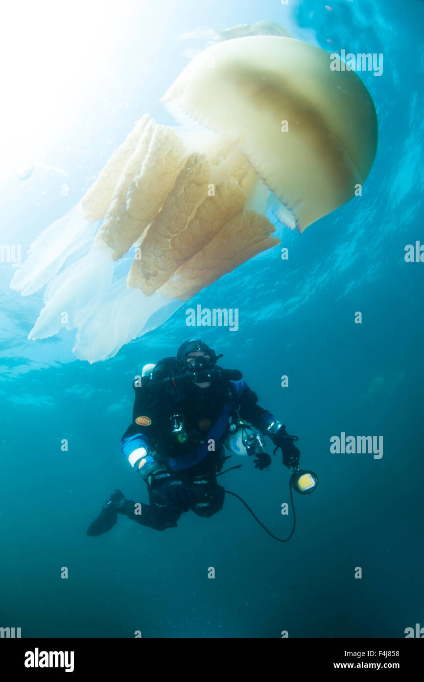 Diver with giant barrel jellyfish off the South Coast, Devon, England, United Kingdom, Europe - Stock Image