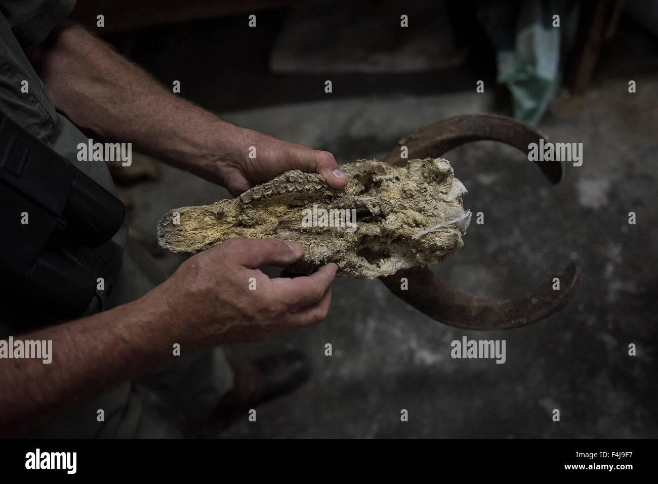 Professional Hunter, Stan Burger is seen the skull of a Nyala Bull at the Groenvley Gamefarm, Waterberg, Limpopo, - Stock Image