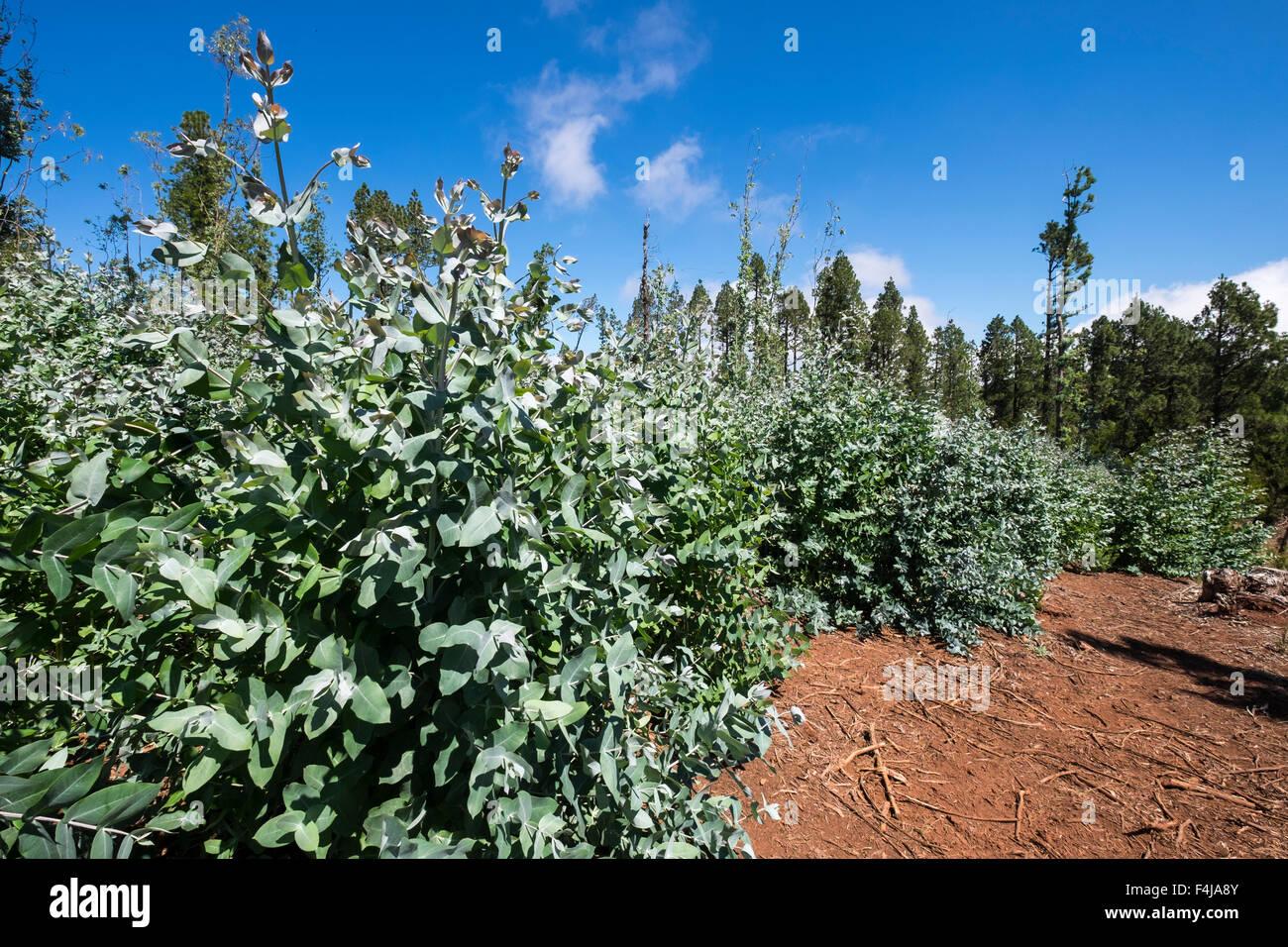 Eucalyptus globulus, Tasmanian blue gum, trees in a nursery in the la Esperanza forest area of Tenerife, Canary - Stock Image