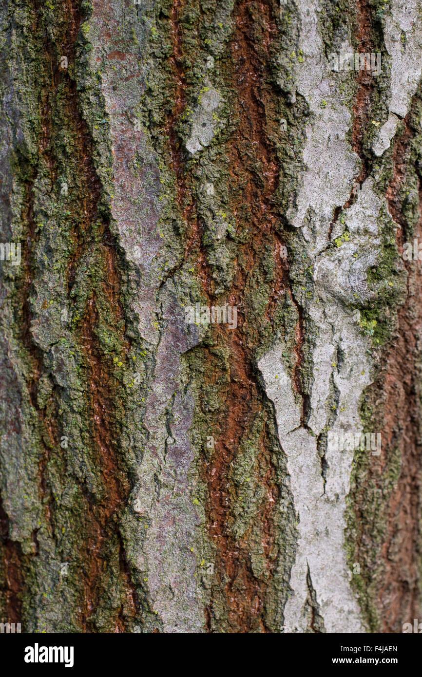 Aspen, bark, rind, Zitterpappel, Zitter-Pappel, Pappel, Espe, Rinde, Stamm, Borke, Populus tremula - Stock Image