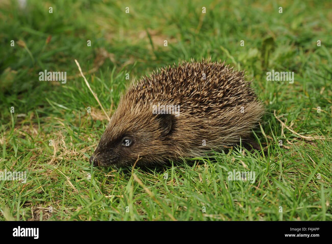 Hedgehog in grass - Stock Image