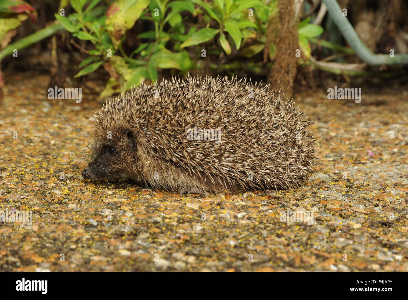 Photograph of a hedgehog on a path - Stock Image