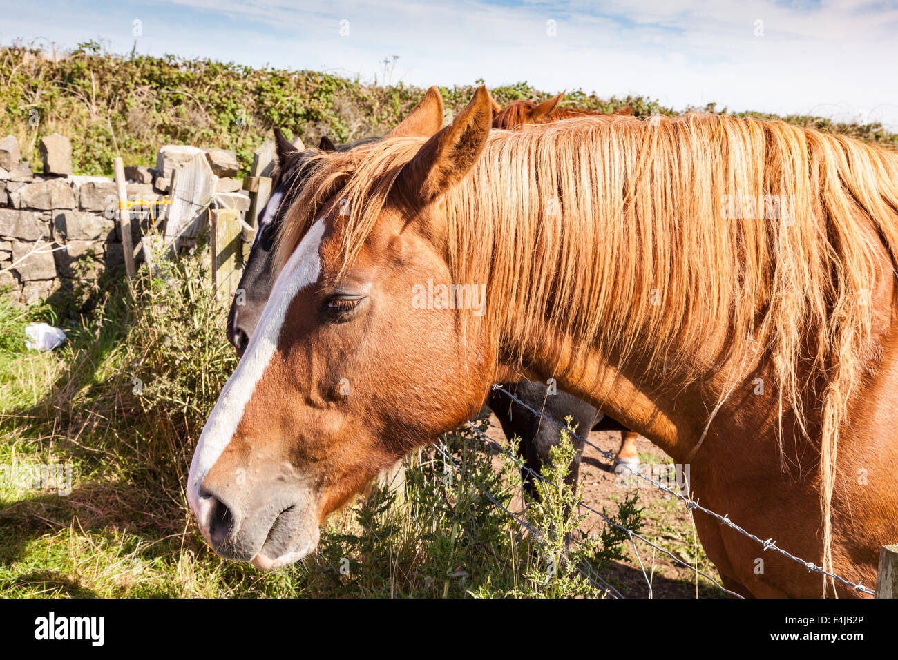 A pair of horses lean over a barbed wire fence at Low Newton by the Sea, Northumbria, UK - Stock Image