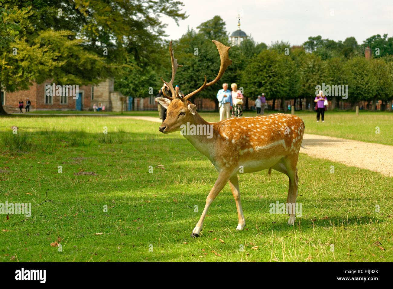 A Fallow Deer at Dunham Massey Hall Deer Park, Dunham Park, Altrincham, Trafford, Greater Manchester. - Stock Image