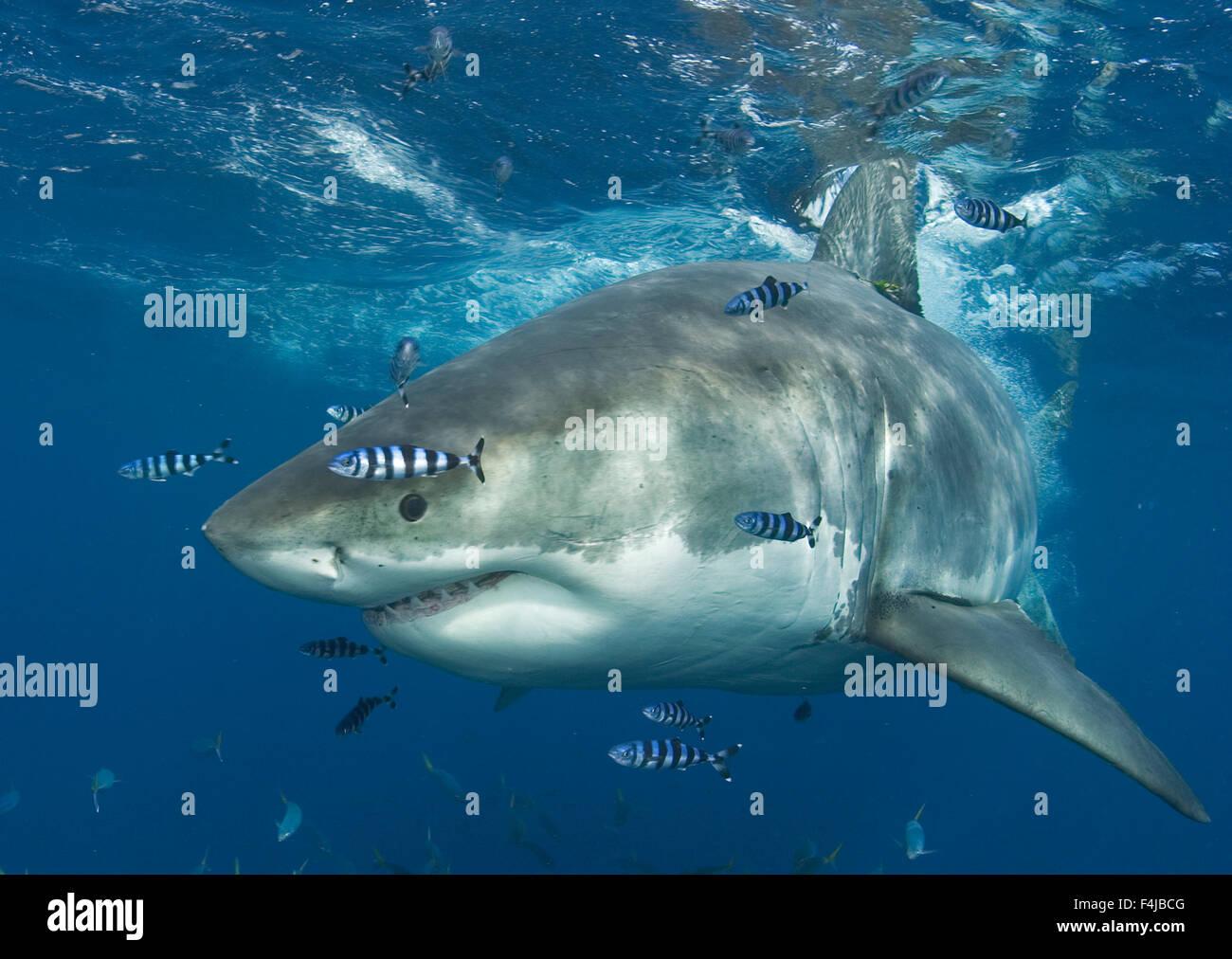 Big shark small fish stock photos big shark small fish for Great white shark fishing