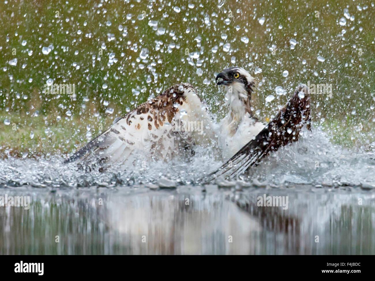 Osprey (Pandion haliaetus) splashing as it emerges from dive to catch fish, Scotland, UK, August. - Stock Image