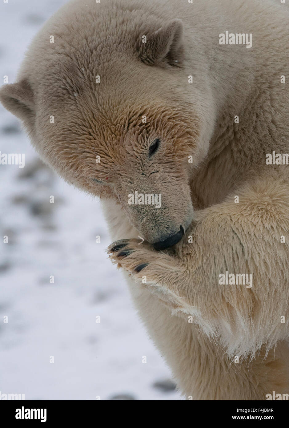 Polar bear (Ursus maritimus) cleaning paws after meal, Svalbard, Norway, September 2009 - Stock Image