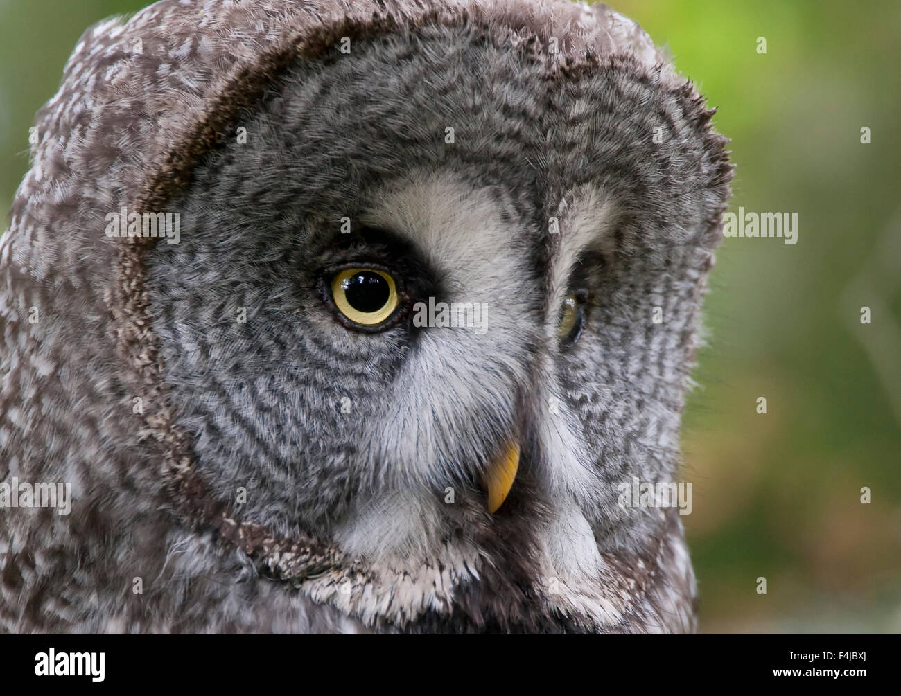 Great grey owl (Strix nebulosa) head portrait, Bergslagen, Sweden, June 2009 - Stock Image
