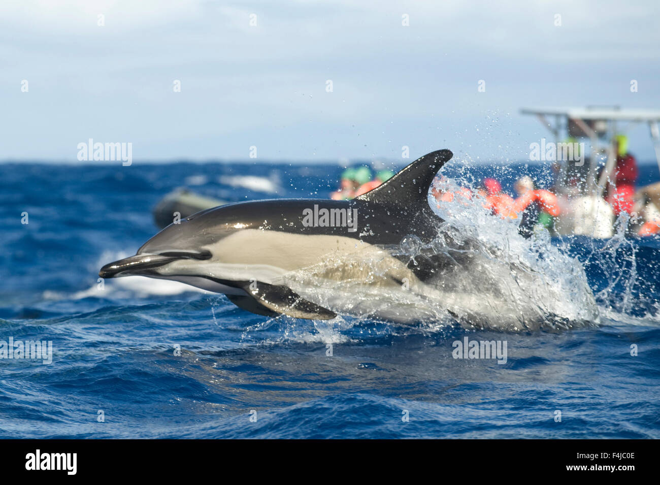 Common dolphin (Delphinus delphis) porpoising with a whale watching boat behind, Pico, Azores, Portugal, June 2009 - Stock Image